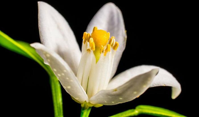 Floare de Portocal